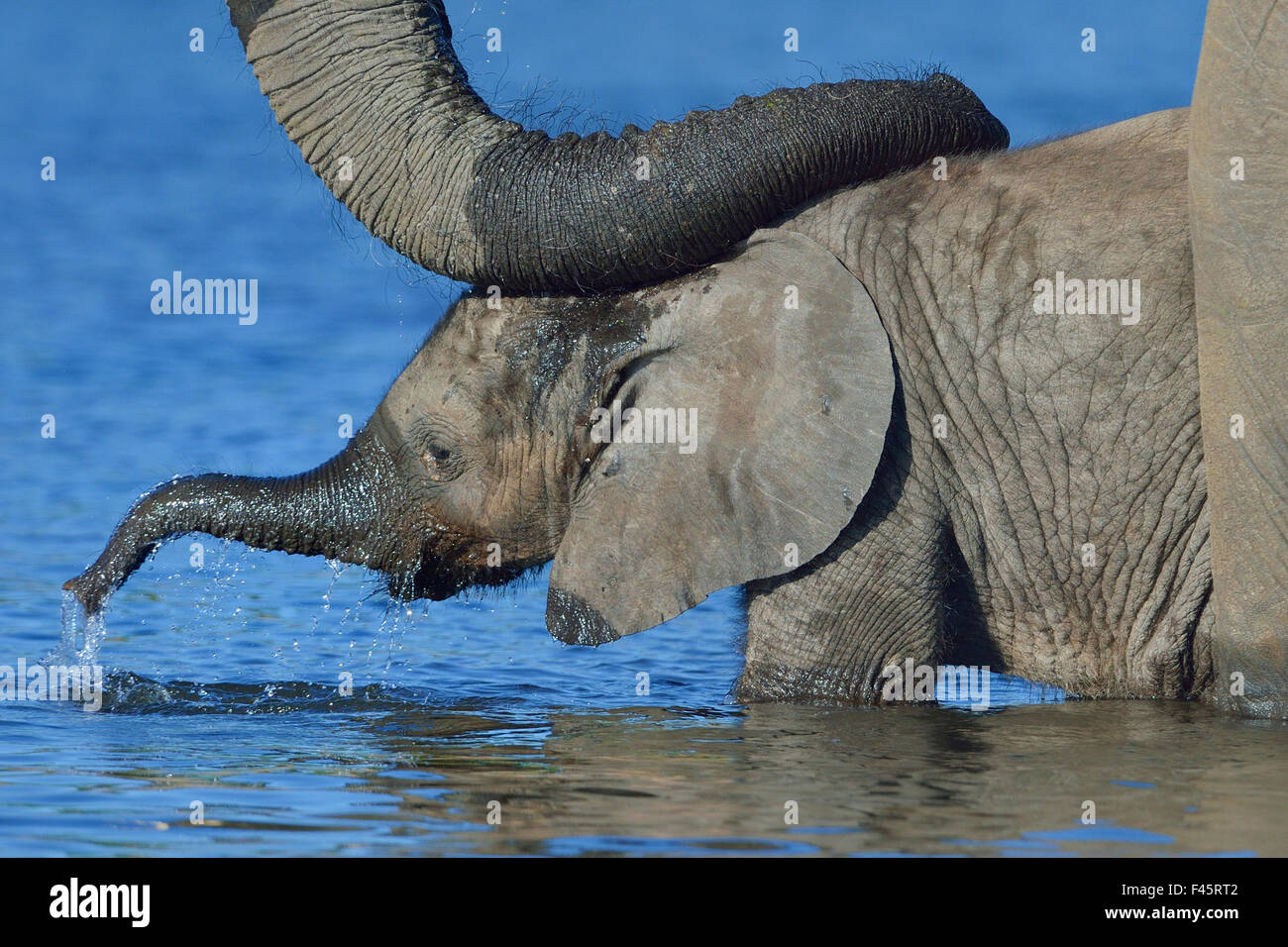 African elephant (Loxodonta africana) calf in water with mother's reassuring trunk resting on head, Chobe River, - Stock Image