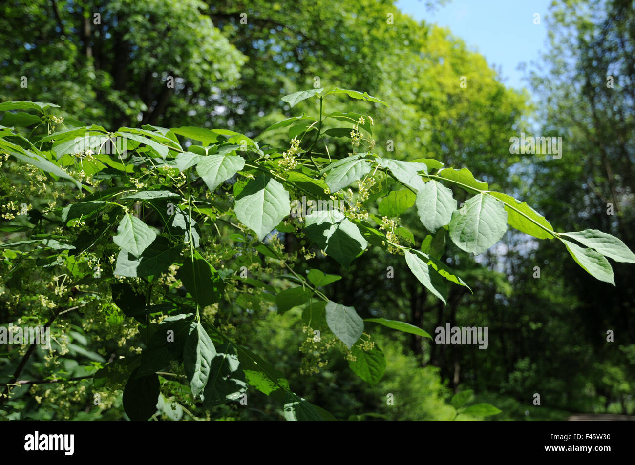 Large-leaved spindle Stock Photo