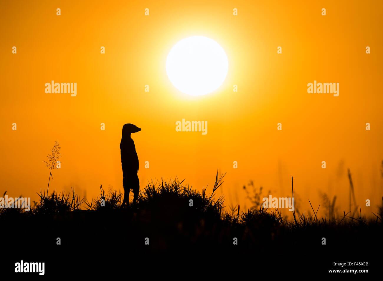 Meerkat (Suricata suricatta) standing alert on hind legs at sunset, Makgadikgadi Pans, Botswana. - Stock Image