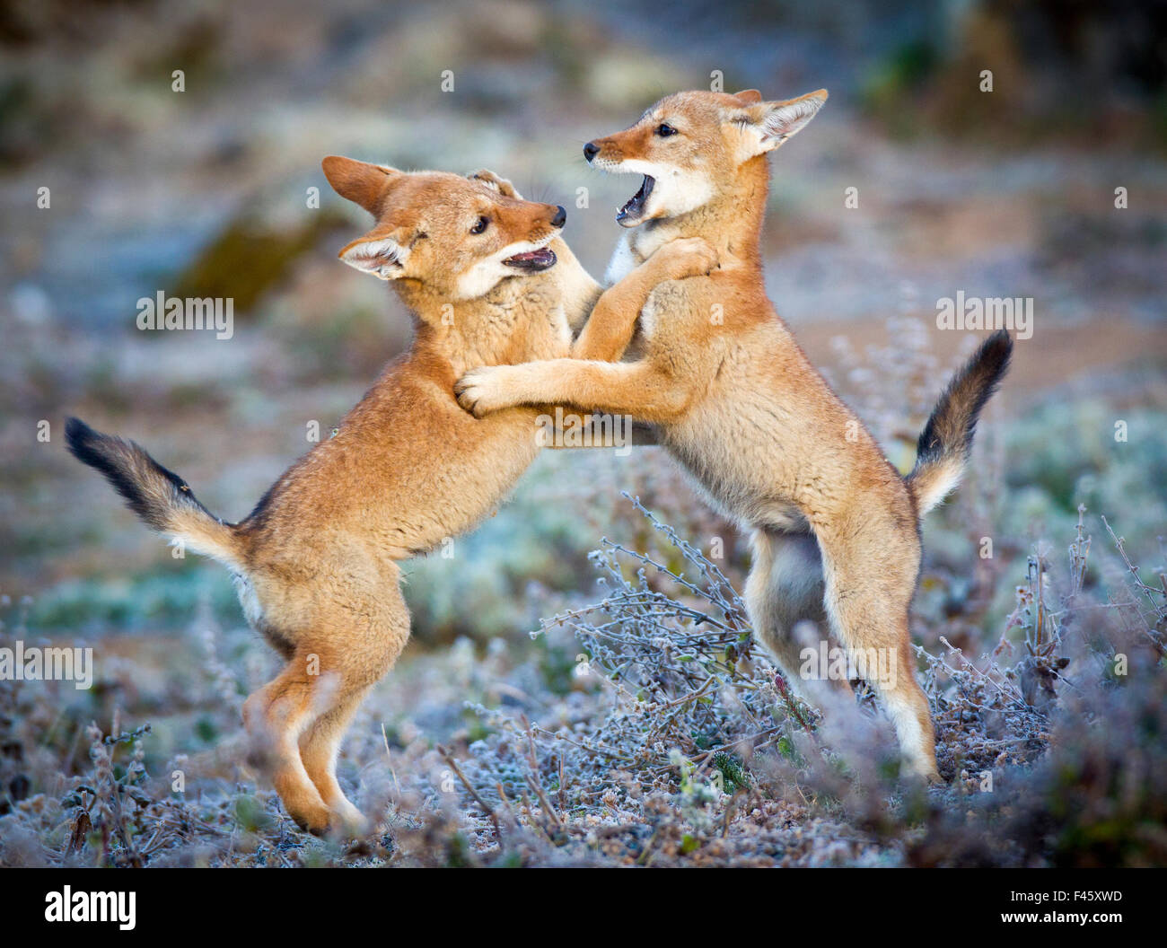 Ethiopian Wolf (Canis simensis) five month cubs playing, Bale Mountains National Park, Ethiopia. - Stock Image