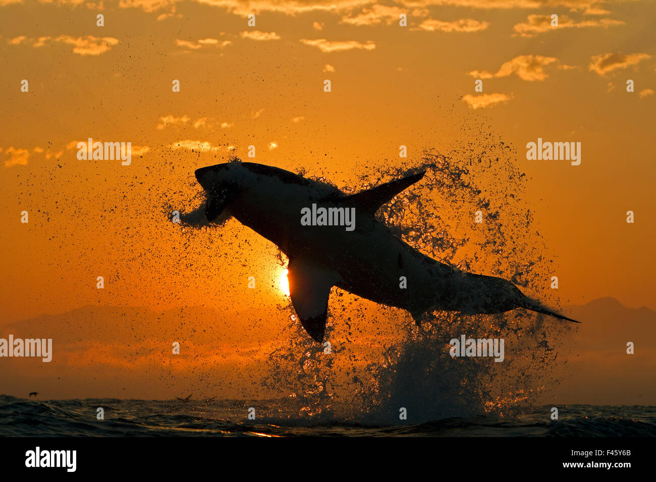 Great white shark (Carchardon carcharias) breaching on seal decoy at dawn, False Bay, South Africa - Stock Image