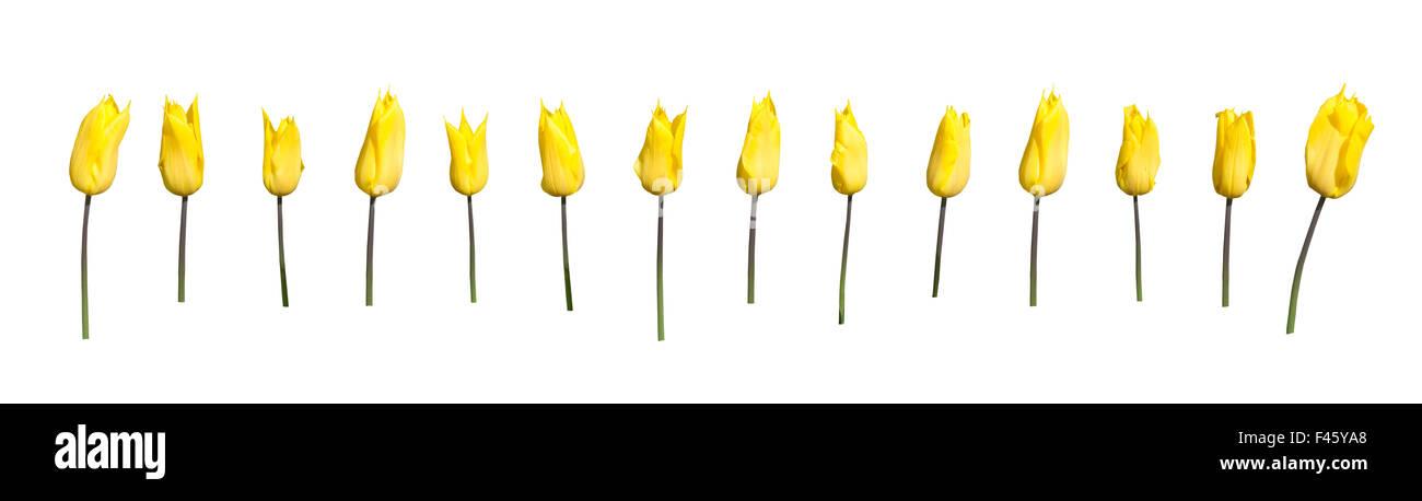 Yellow tulips margin - Stock Image