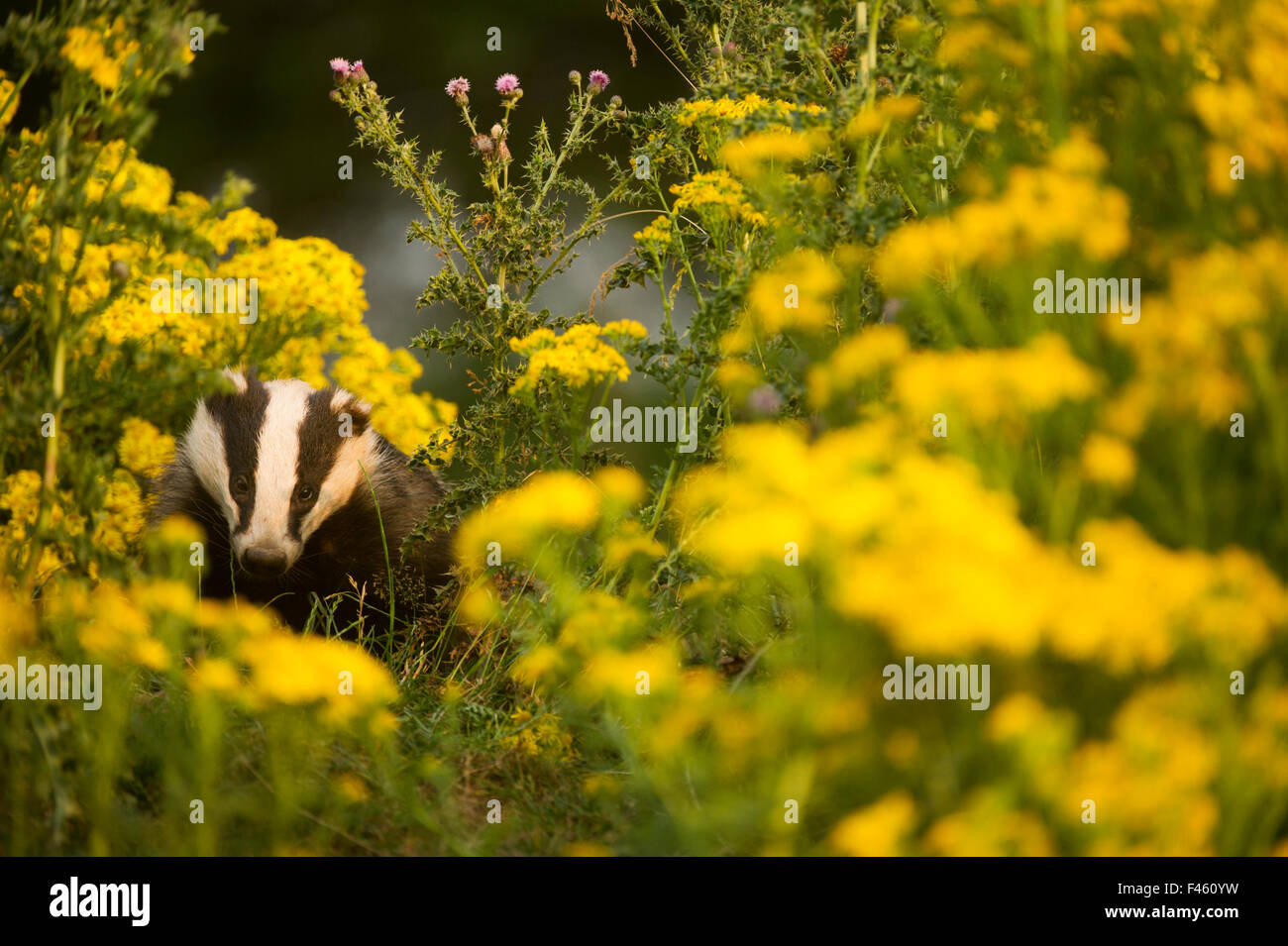 Badger (Meles meles) sub-adult badger among some ragwort, Derbyshire, England, UK, July. Highly commended in the - Stock Image