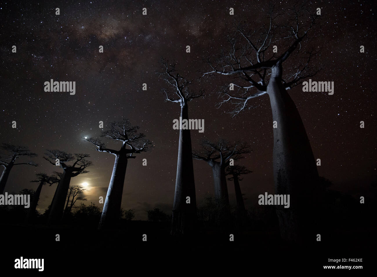 Grandidier's baobab (Adansonia grandidieri) trees on starry night, Baobab Alley, Menabe, Madagascar. Honorable Mention - Stock Image