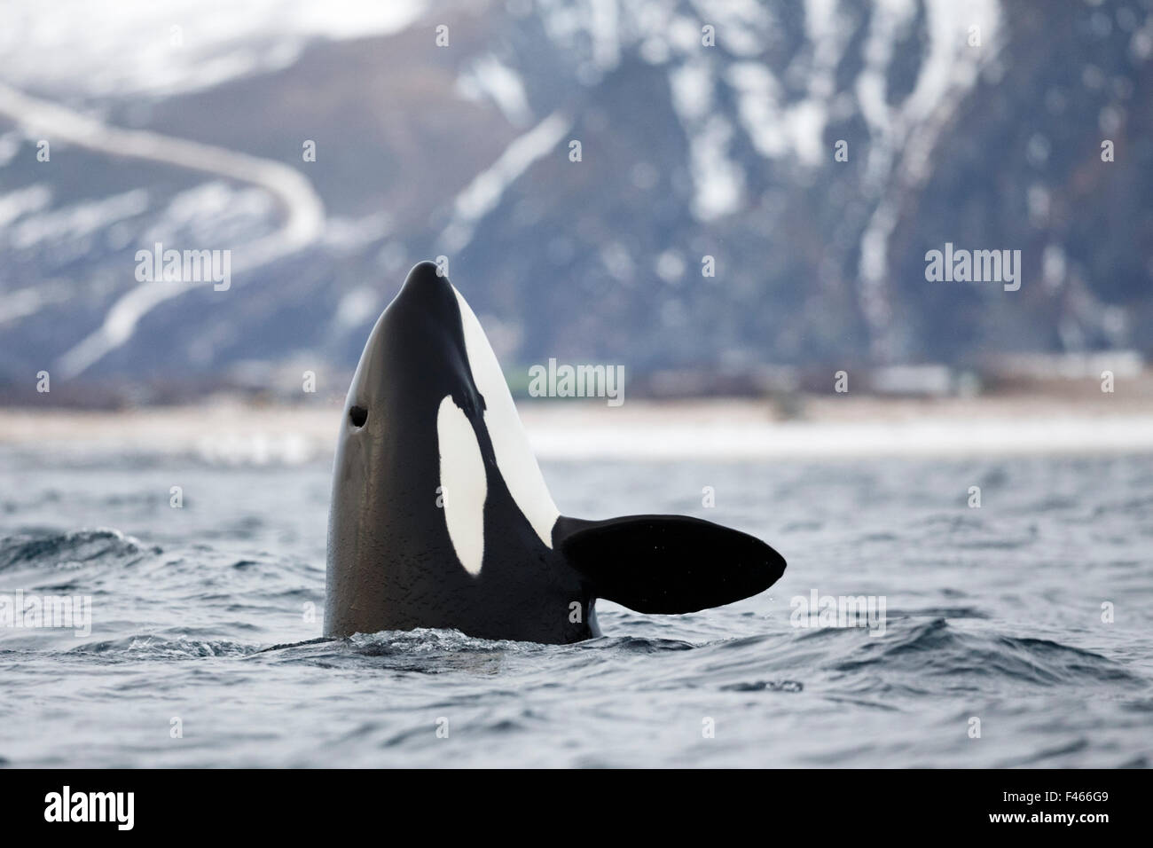 Killer whale / orca (Orcinus orca) spyhopping. Andfjorden, close to Andoya, Nordland, Northern Norway, January. - Stock Image