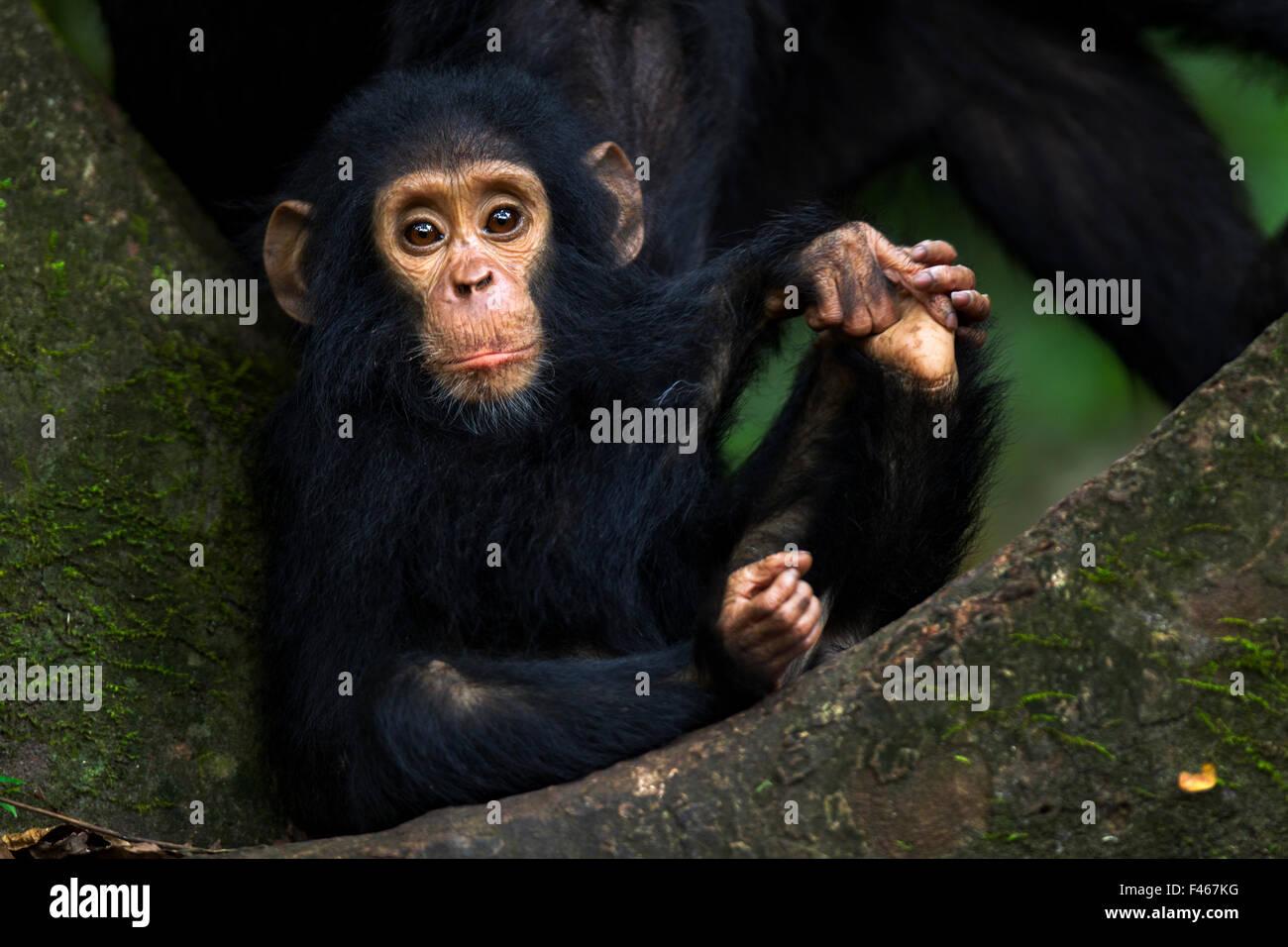 Eastern chimpanzee (Pan troglodytes schweinfurtheii) infant male 'Gizmo' aged 1-2 years sitting portrait. - Stock Image