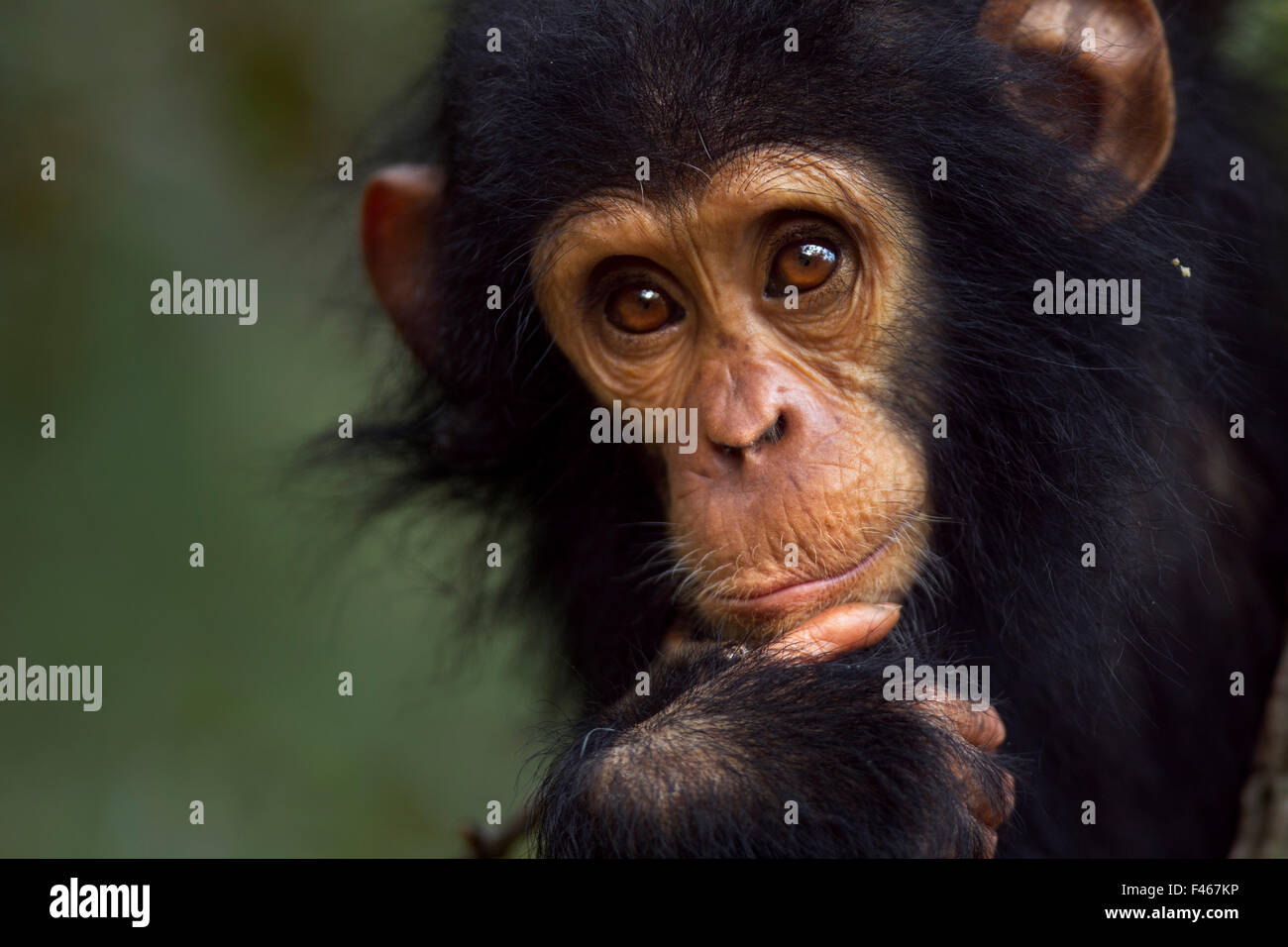 Eastern chimpanzee (Pan troglodytes schweinfurtheii) male baby 'Gizmo' aged 1-2 years portrait. Gombe National - Stock Image