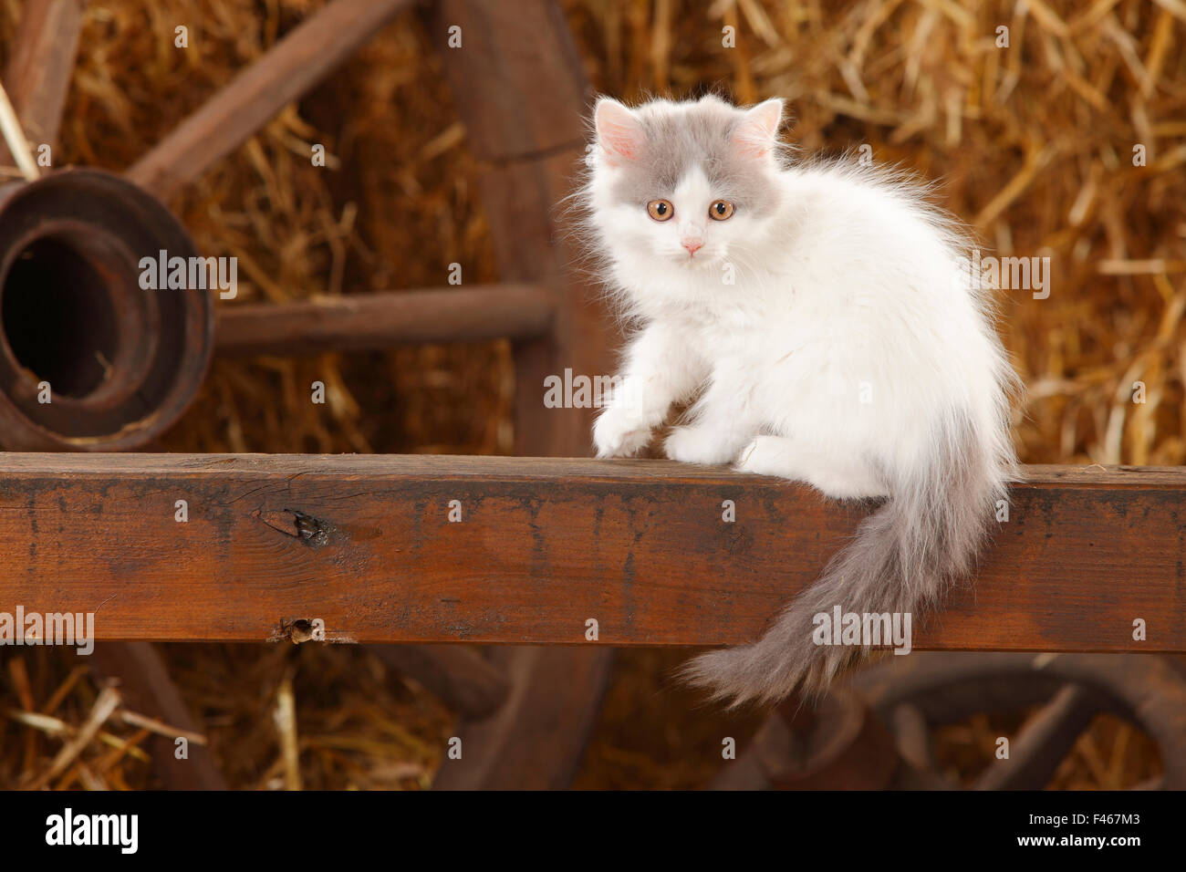 British Longhair, kitten with blue-van colouration age 10 weeks in barn with straw. Stock Photo