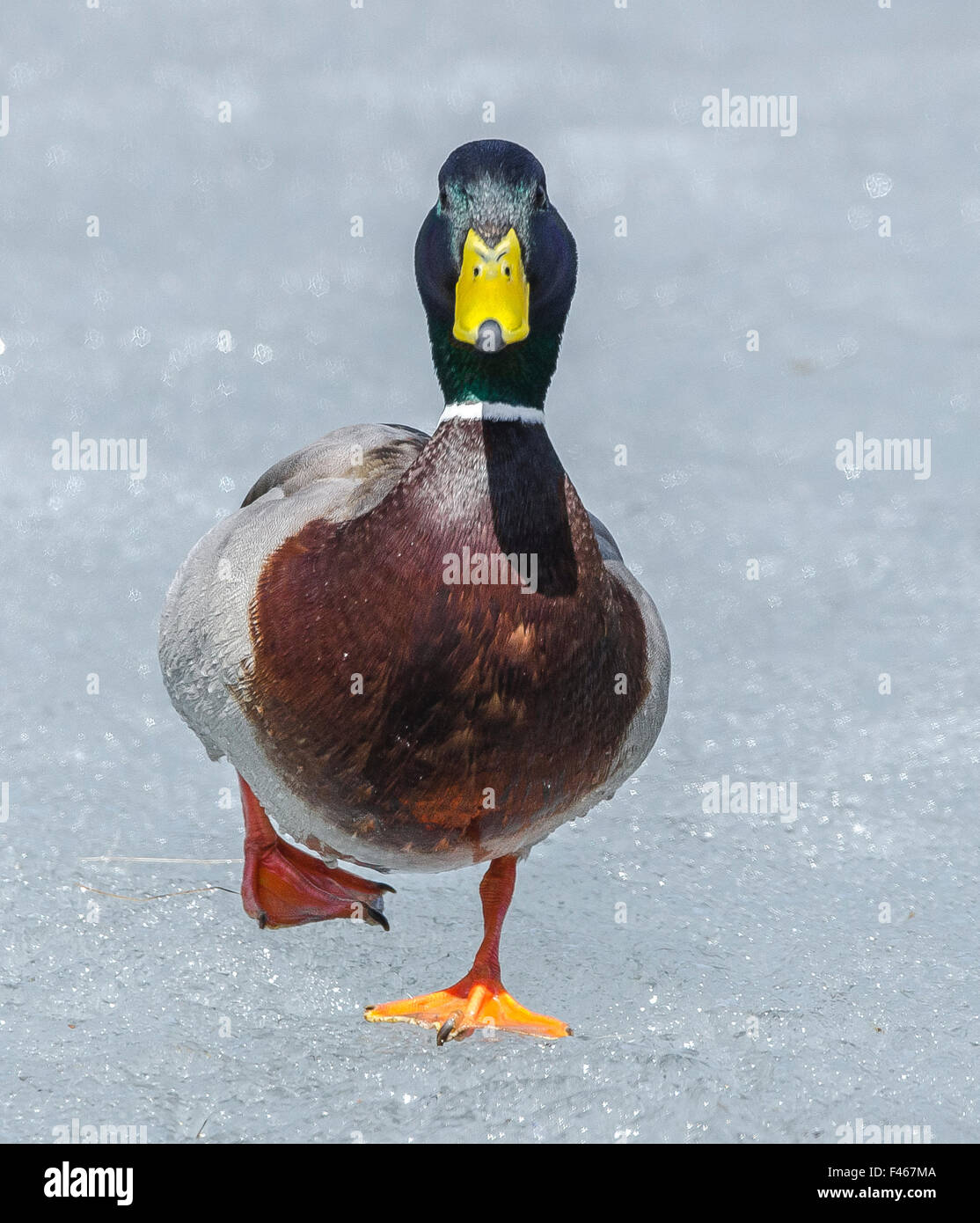 Mallard (Anas platyrhynchos) walking on ice, Acadia National Park, Maine, USA, April. - Stock Image