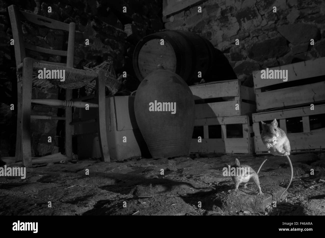 House mice (Mus musculus) fighting in a basement. Taken at night with infra-red remote camera trap, Mayenne, France, - Stock Image
