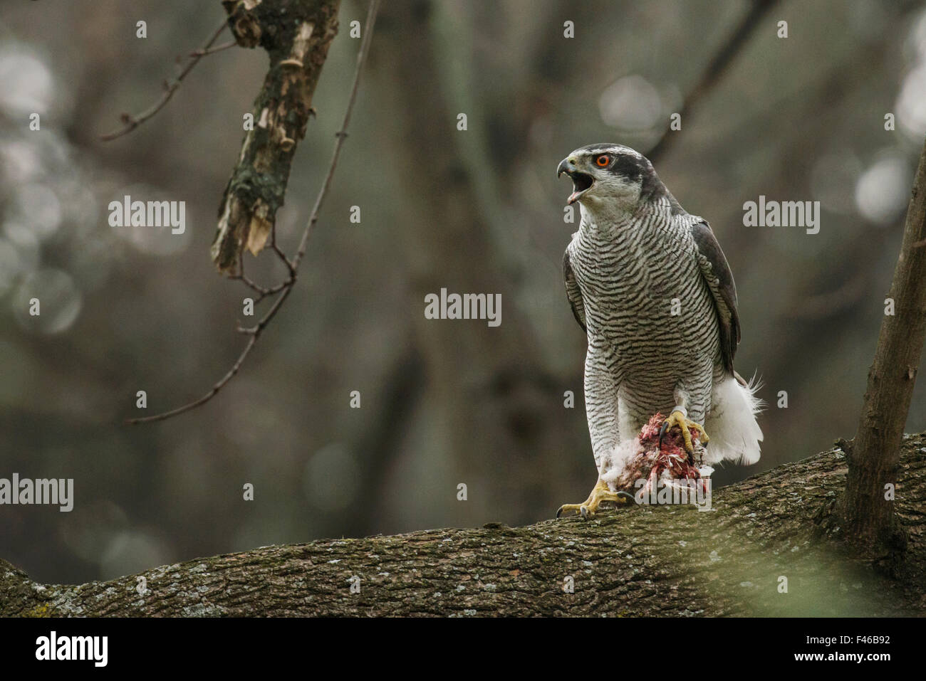 Northern goshawk (Accipiter gentilis) adult male calling to mate with food during courtship, Berlin, Germany, March. - Stock Image