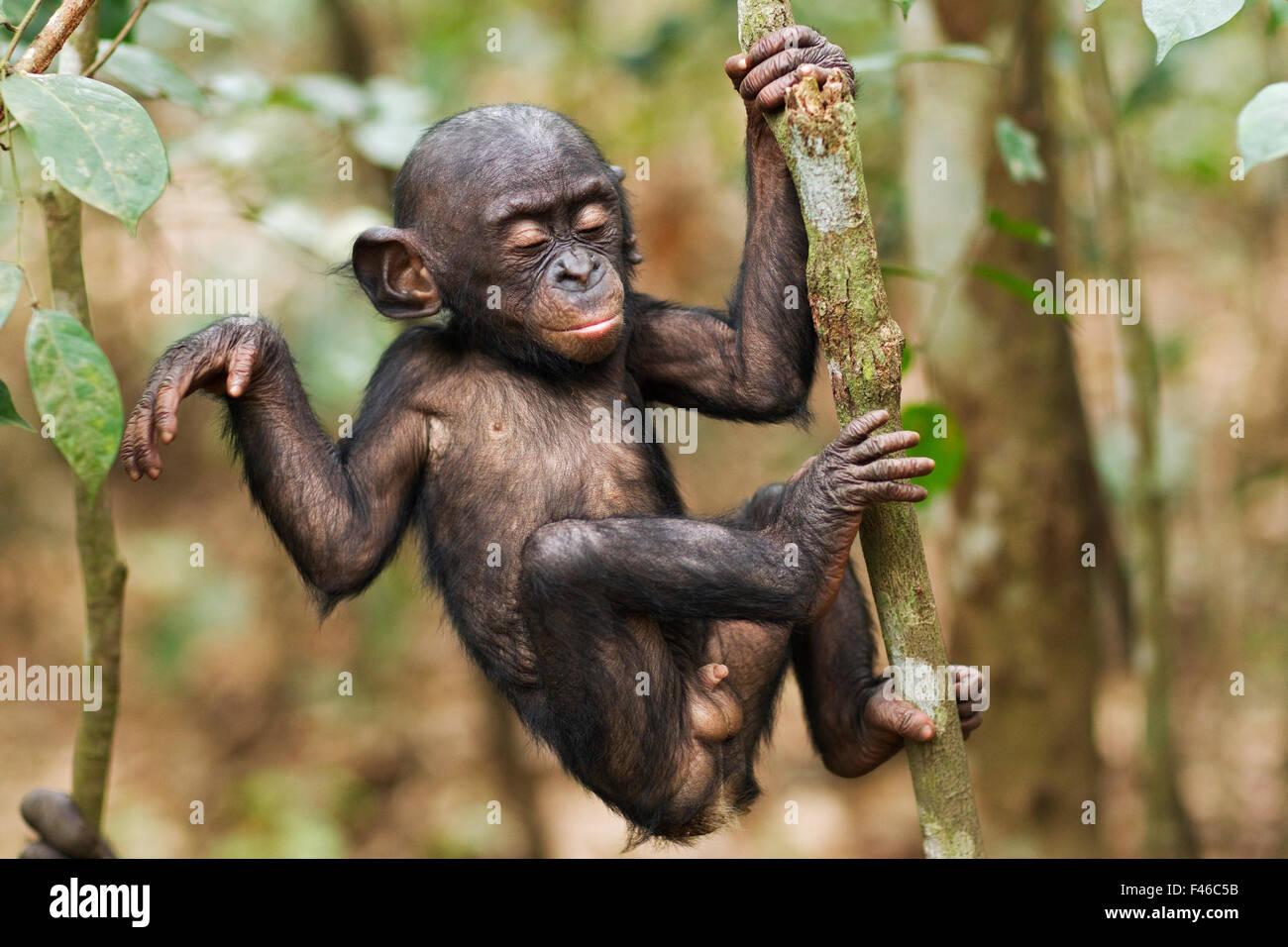 Bonobo male baby 'Bomango' aged 10 months climbing a branch (Pan paniscus). Lola Ya Bonobo Santuary, Democratic - Stock Image