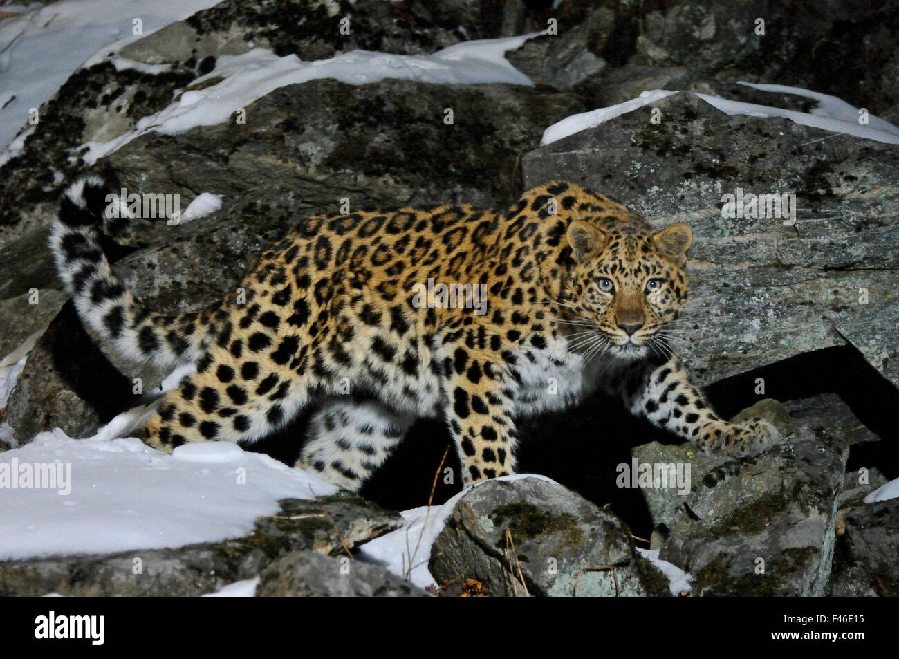 Wild female Amur leopard (Panthera pardus orientalis) on rocky hillside, Kedrovaya Pad reserve, Primorsky Krai, - Stock Image