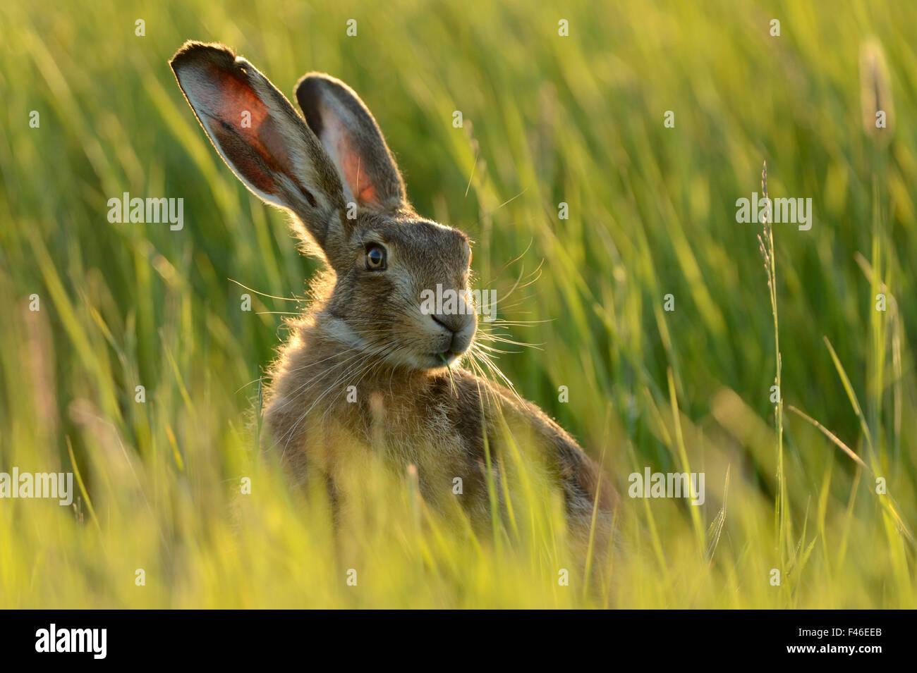 European hare (Lepus europaeus) in grass field, UK, May - Stock Image
