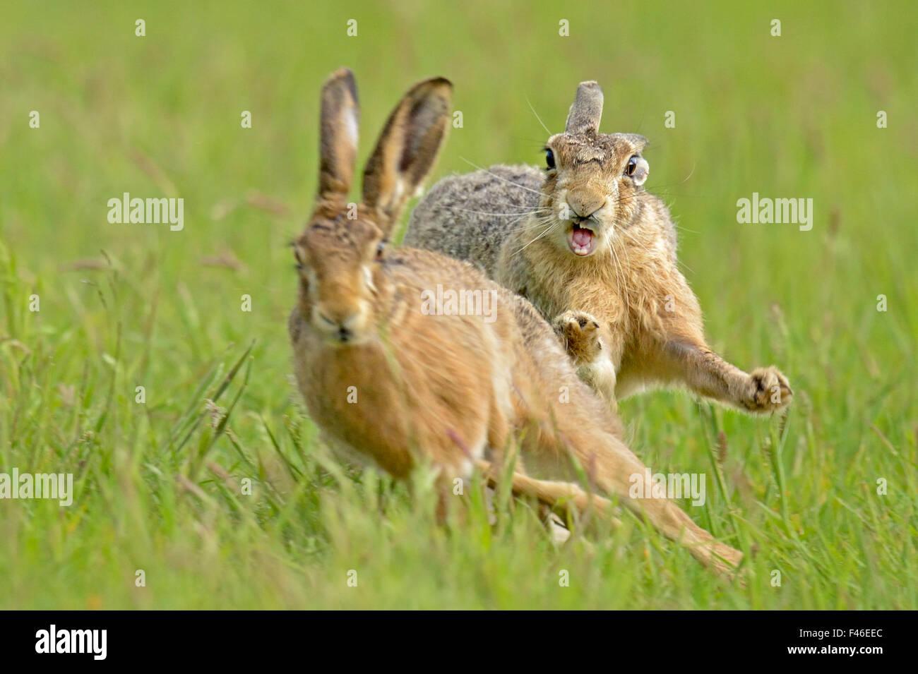 European hares (Lepus europaeus) courtship chase,  UK, February - Stock Image