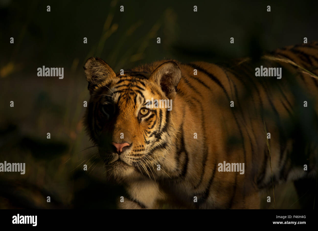 Bengal Tiger (Panthera tigris) sub-adult, approximately 17-19 months old, lit by morning light, stalking. Endangered. - Stock Image