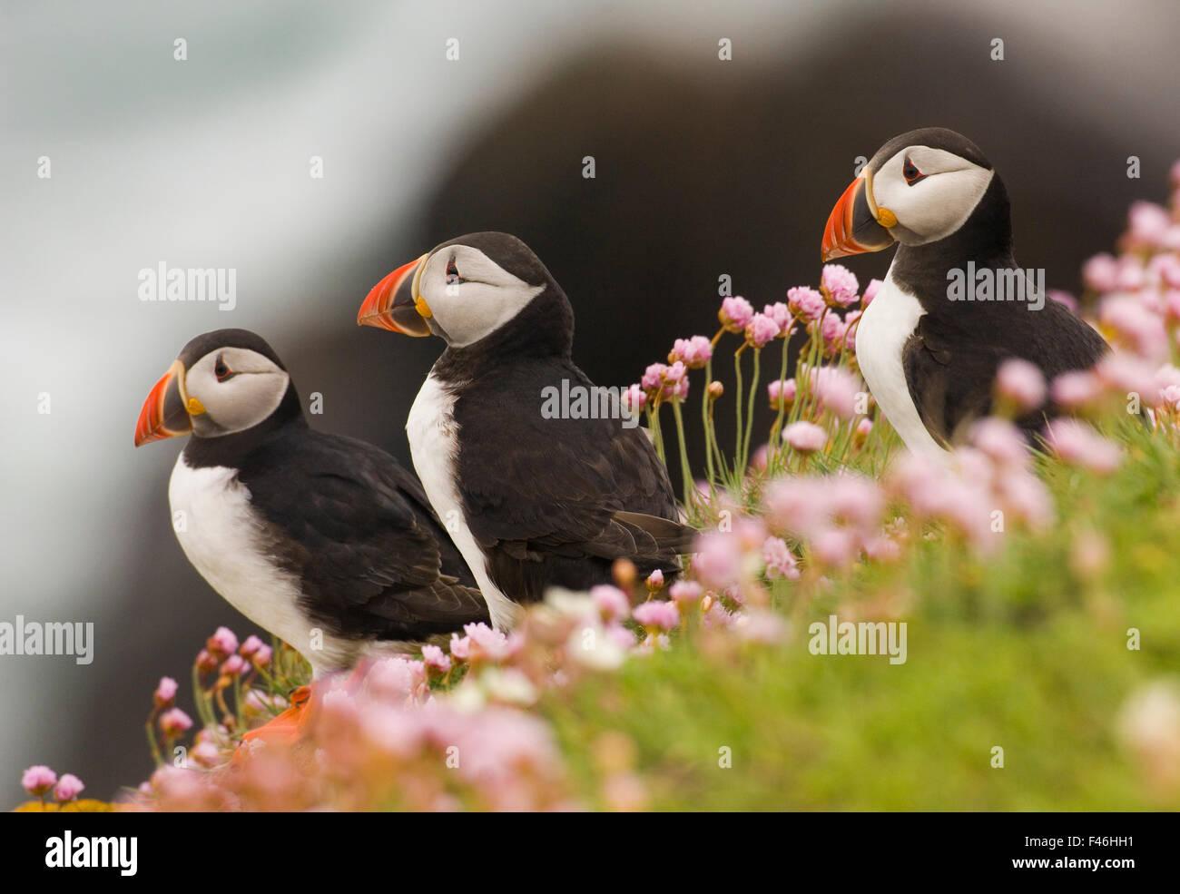 Puffins (Fratercula arctica) among coastal thrift. Saltee Islands, Ireland, UK, July. - Stock Image