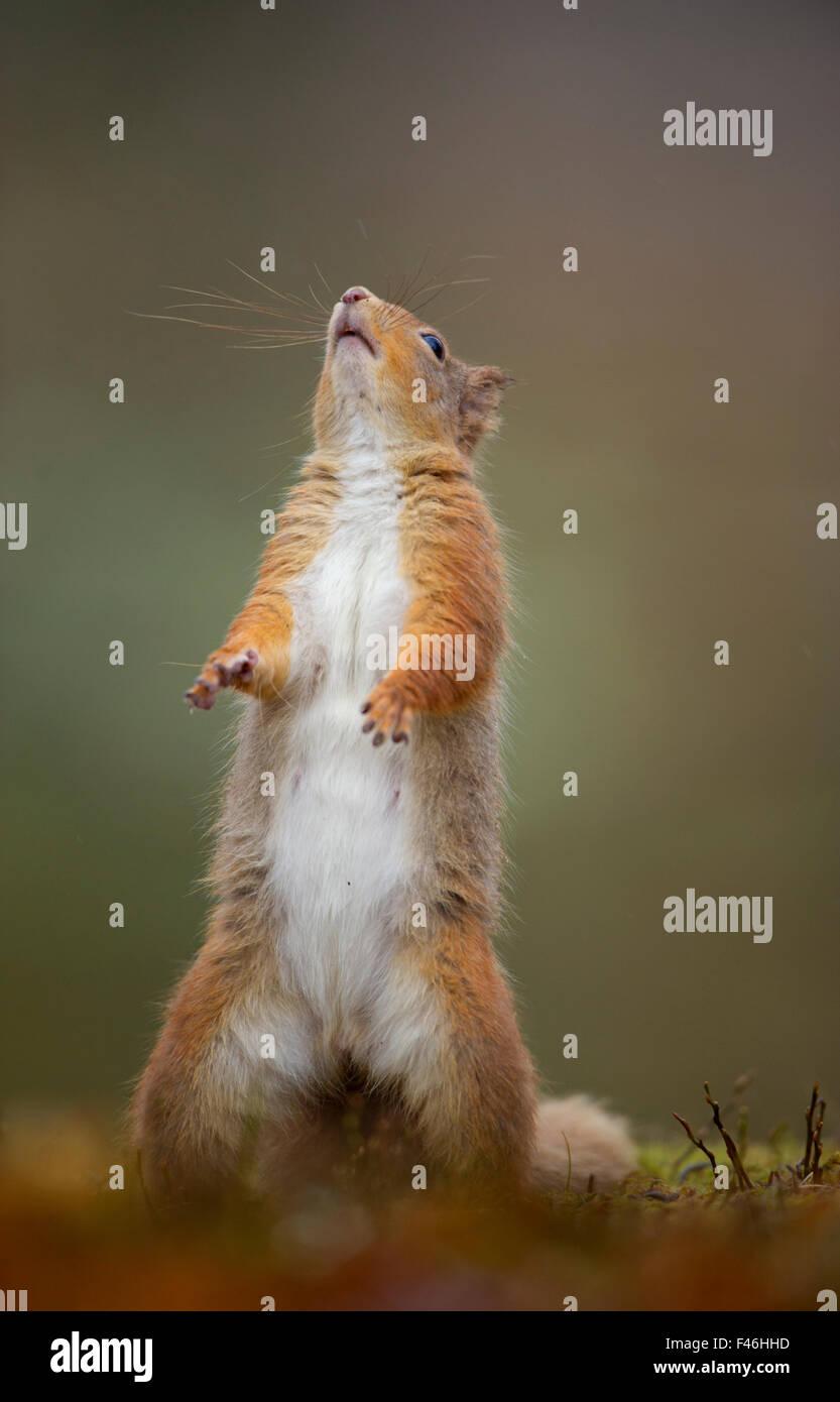 Red Squirrel (Sciurus vulgaris) adult standing. Cairngorms National Park, Scotland, UK, March. Stock Photo