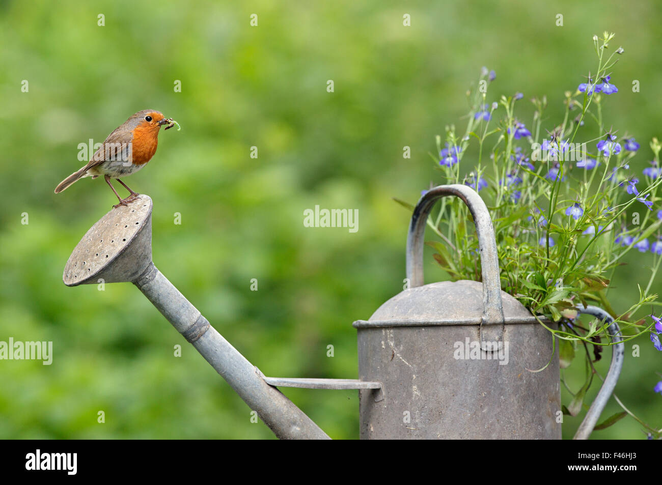 Robin (Erithacus rubecula) perched on watering can with invertebrate prey. Wiltshire, England, July. - Stock Image