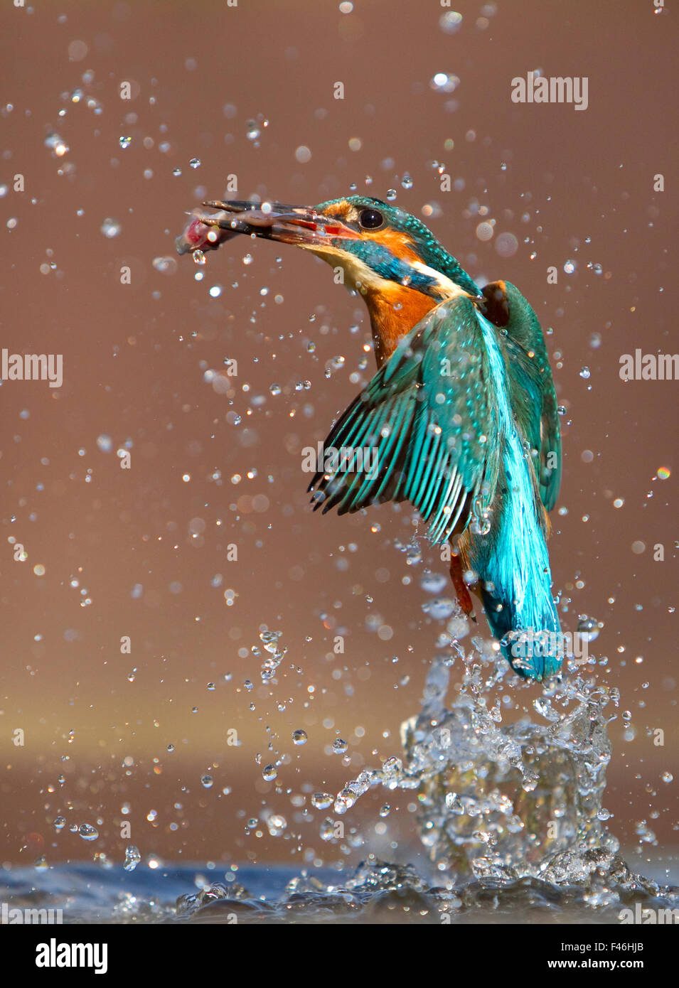 Kingfisher (Alcedo atthis) flying up from water with caught fish, Worcestershire, UK, March. - Stock Image