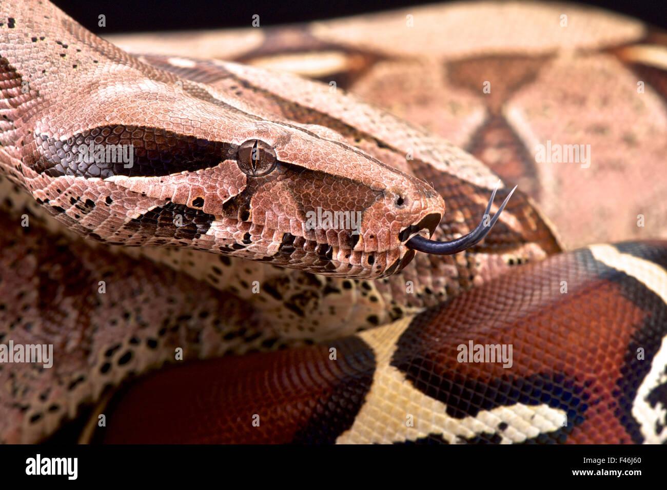 Bolivian boa (Boa constrictor amarali) - Stock Image