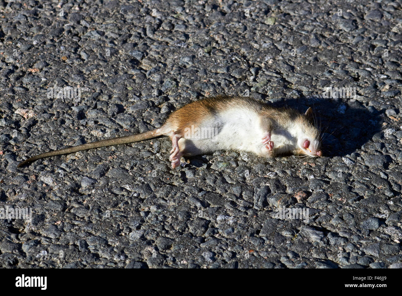 dead brown rat on road, Finland - Stock Image