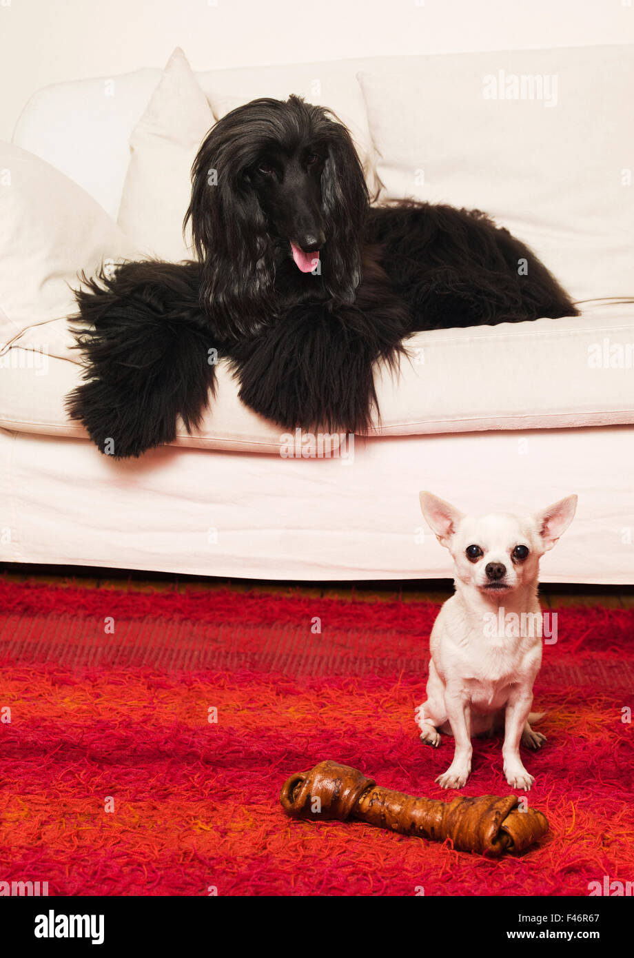 Two dogs and a dogbone. - Stock Image
