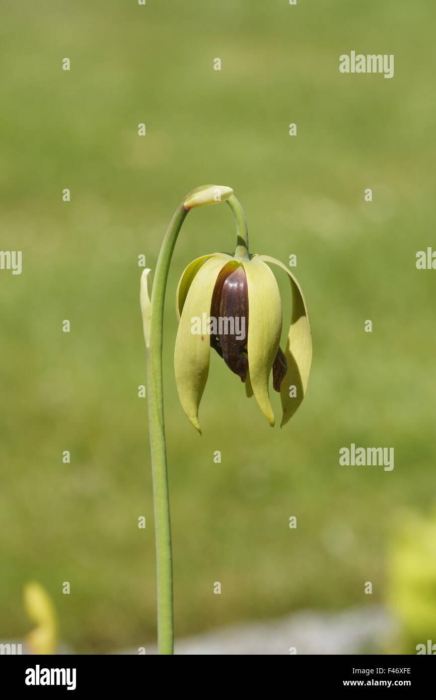 Californian darlingtonia - Stock Image