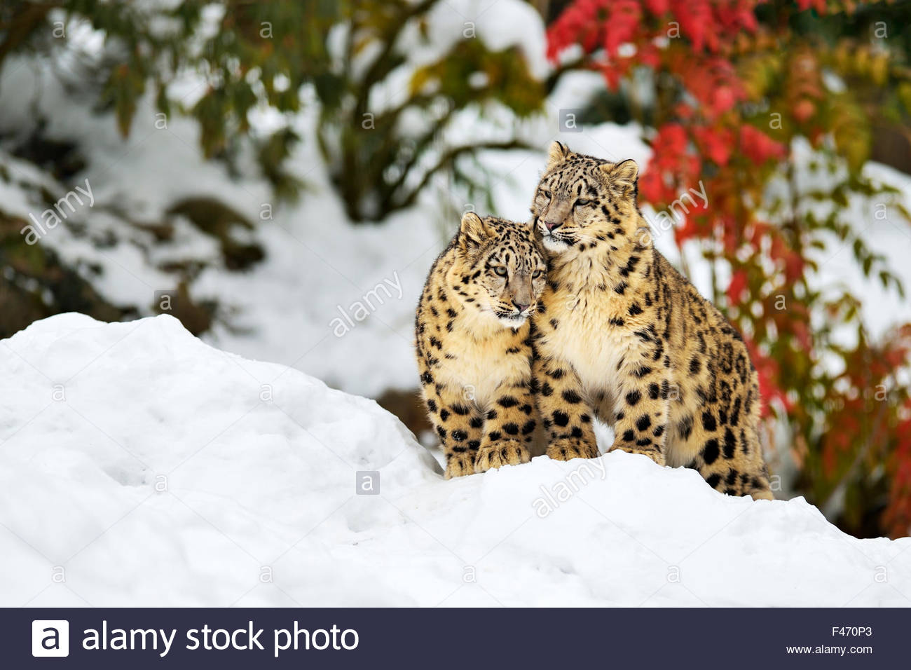Two young snow leopards (Panthera uncia) sitting in the snow, captive, Canton of Zurich, Switzerland - Stock Image