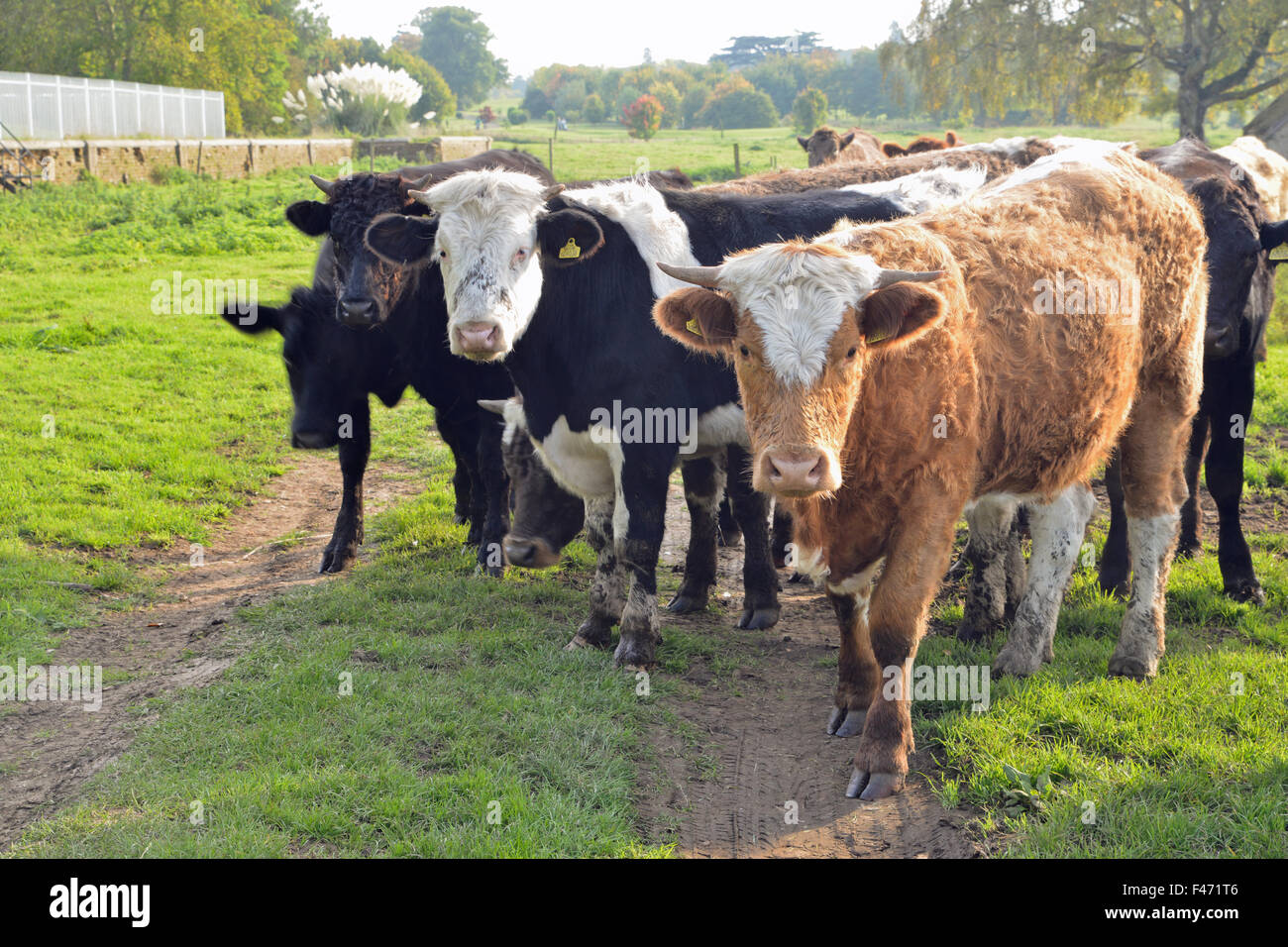 cattle in field in Northamptonshire United Kingdom - Stock Image