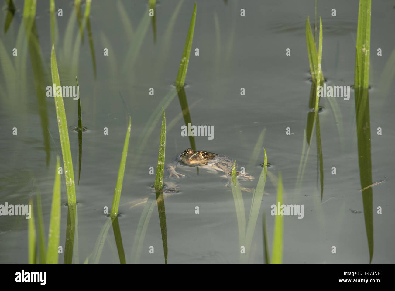 Edible frog, also common water frog or green frog (Rana esculenta) swimming in pond, North Rhine-Westphalia, Germany - Stock Image