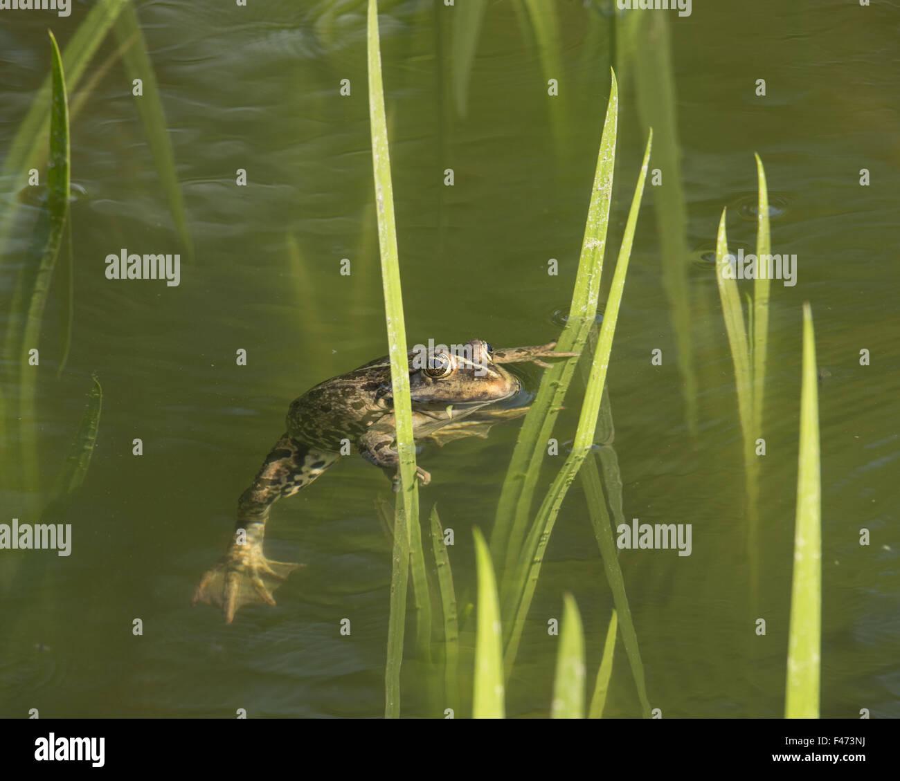 Edible frog, also common water frog or green frog (Rana esculenta) swimming between stalks, North Rhine-Westphalia, - Stock Image