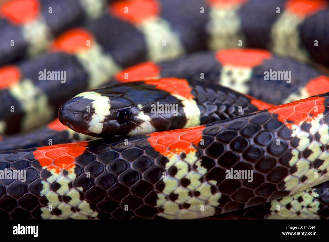 Black-banded centipede eating snake (Scolecophis atrocinctus) - Stock Image