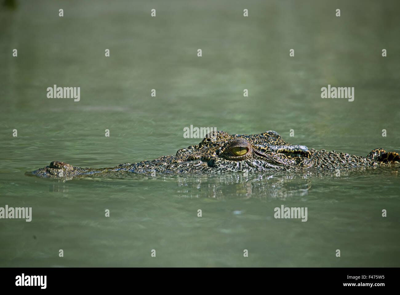 saltwater crocodile, estuarine crocodile or indo-pacific crocodile, Crocodylus porosus.  Hunter River, Kimberley, - Stock Image