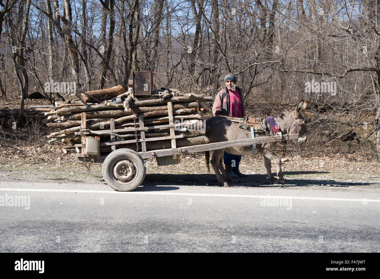 Animal welfare image of a donkey resting for a moment whilst carrying a trailer of heavy wooden logs in rural Georgia. - Stock Image