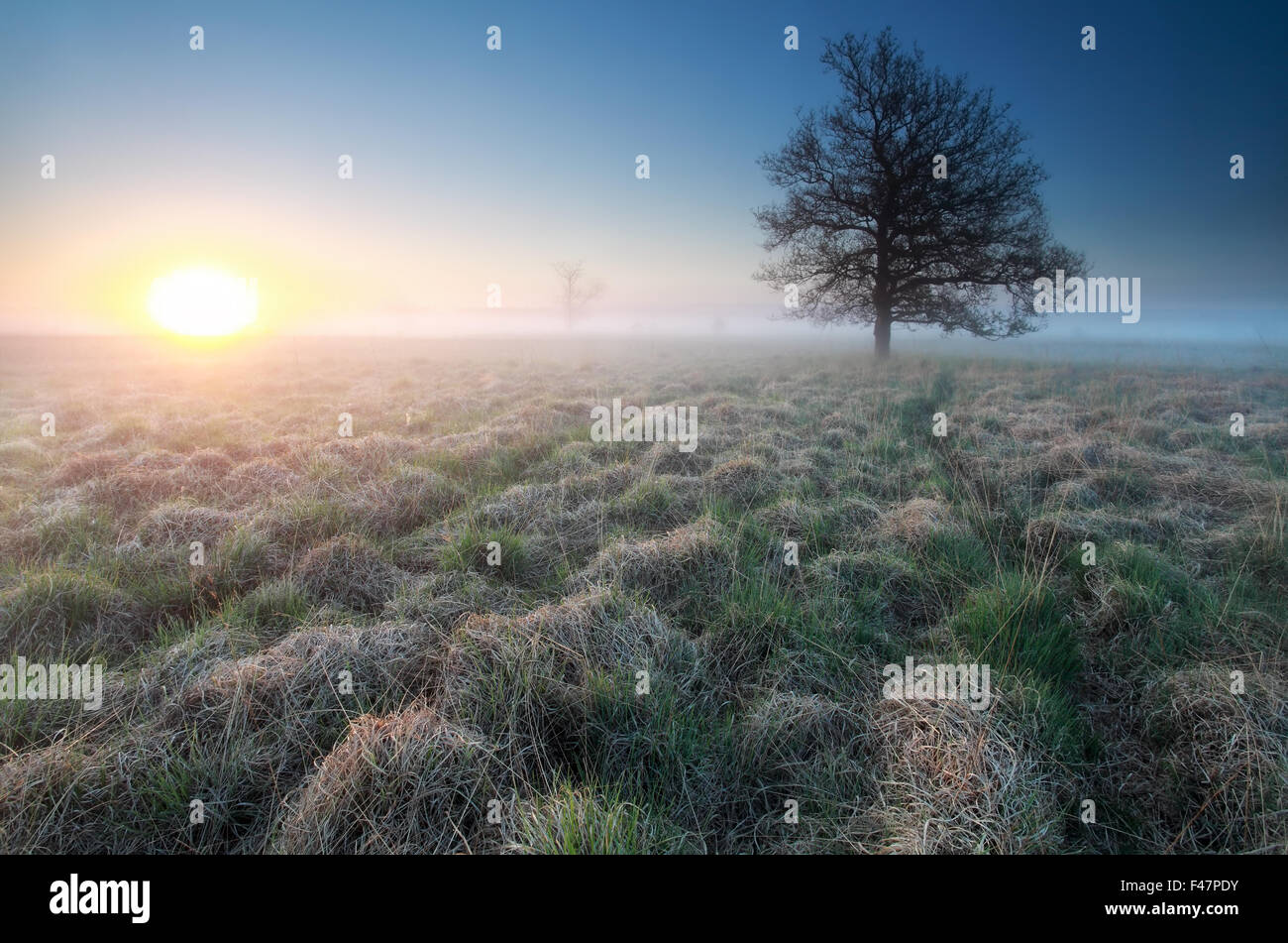 sunrise and little path to tree on marsh, Netherlands - Stock Image