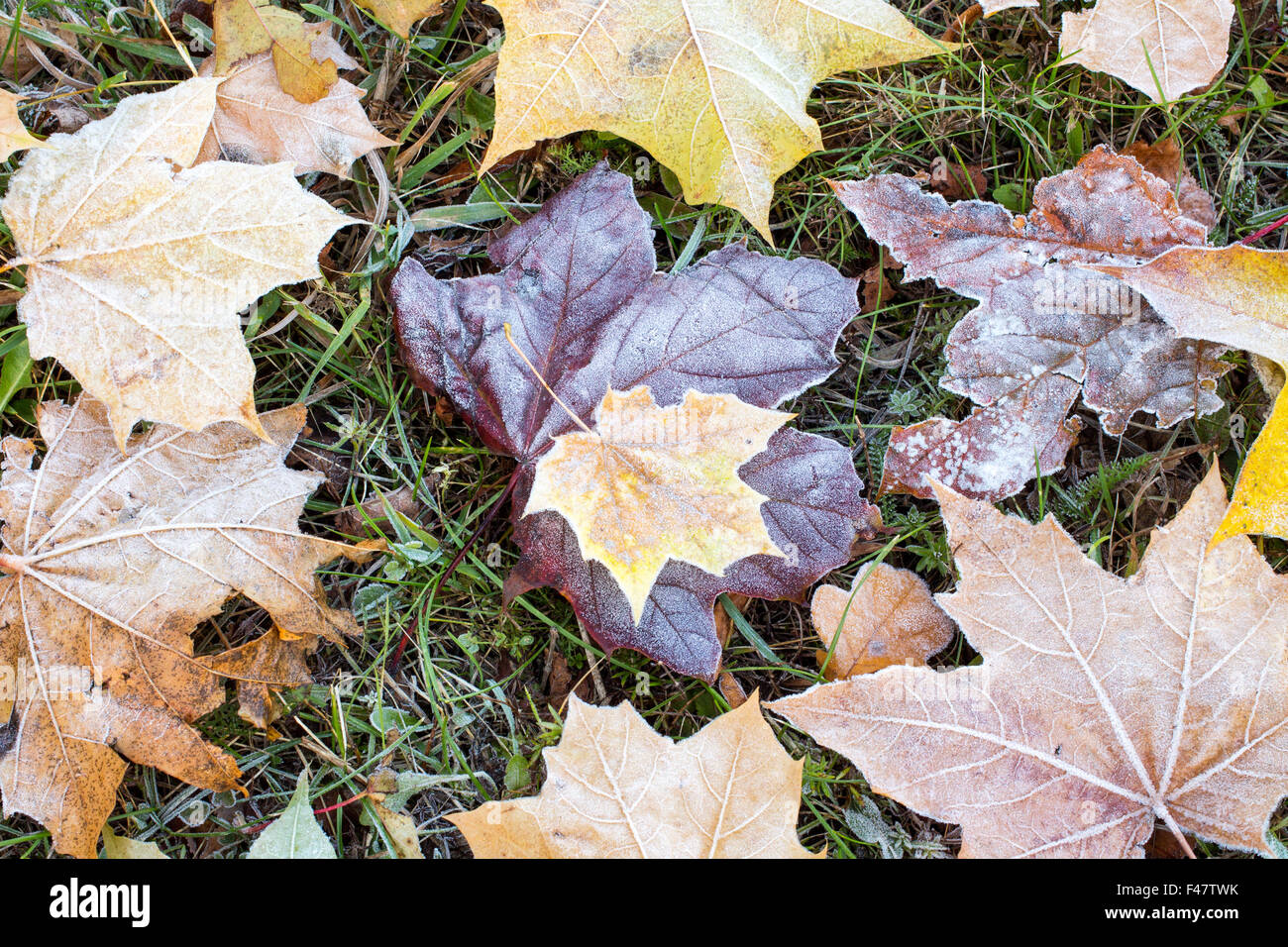 Frost on the ground covered with dry  leaves - Stock Image