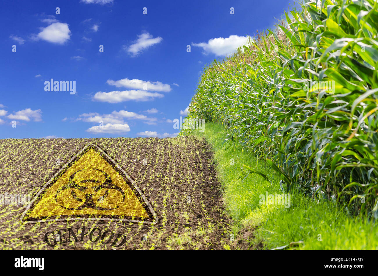 Genetic Mais - Stock Image