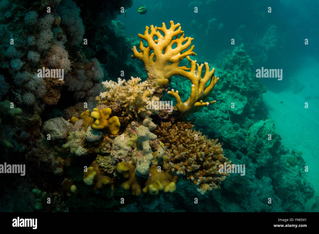 Staghorn coral and fire coral, Acropora spec., from the Red Sea, Southern Egypt. - Stock Image