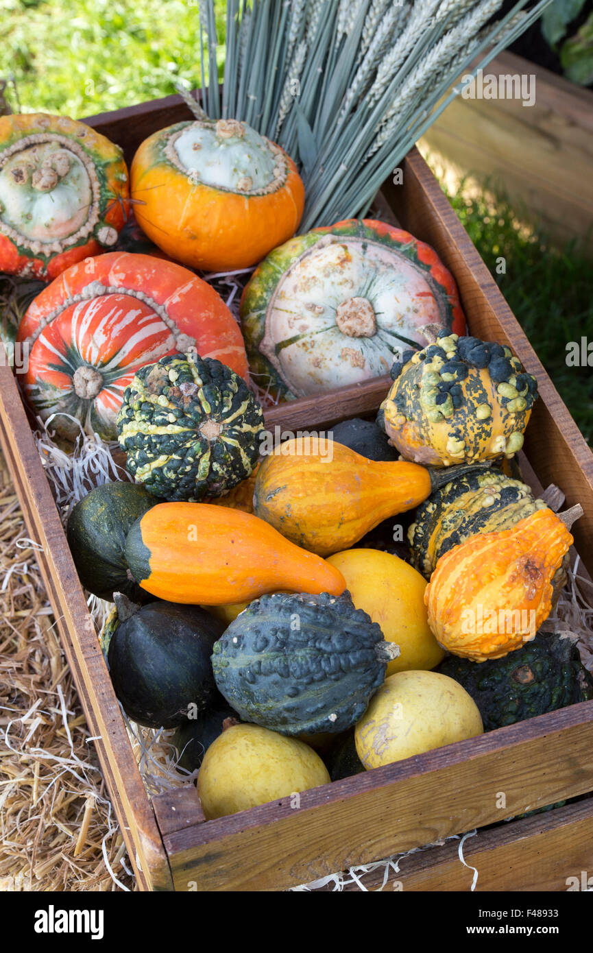 Pumpkin and Gourd display at the Malvern Autumn Show, Worcestershire, UK - Stock Image