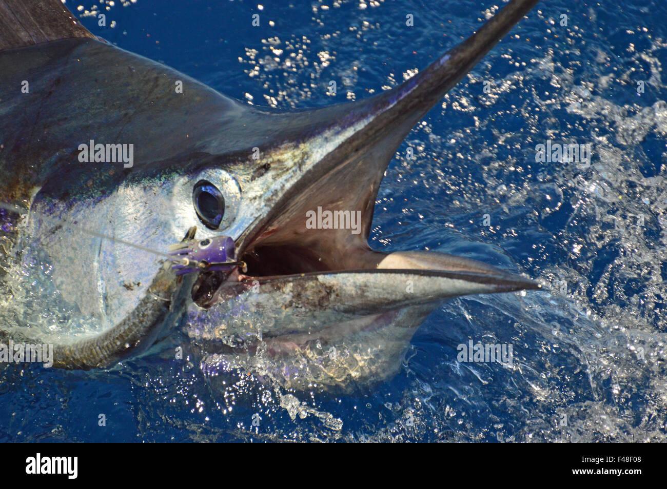 Sailfish head shot - Stock Image