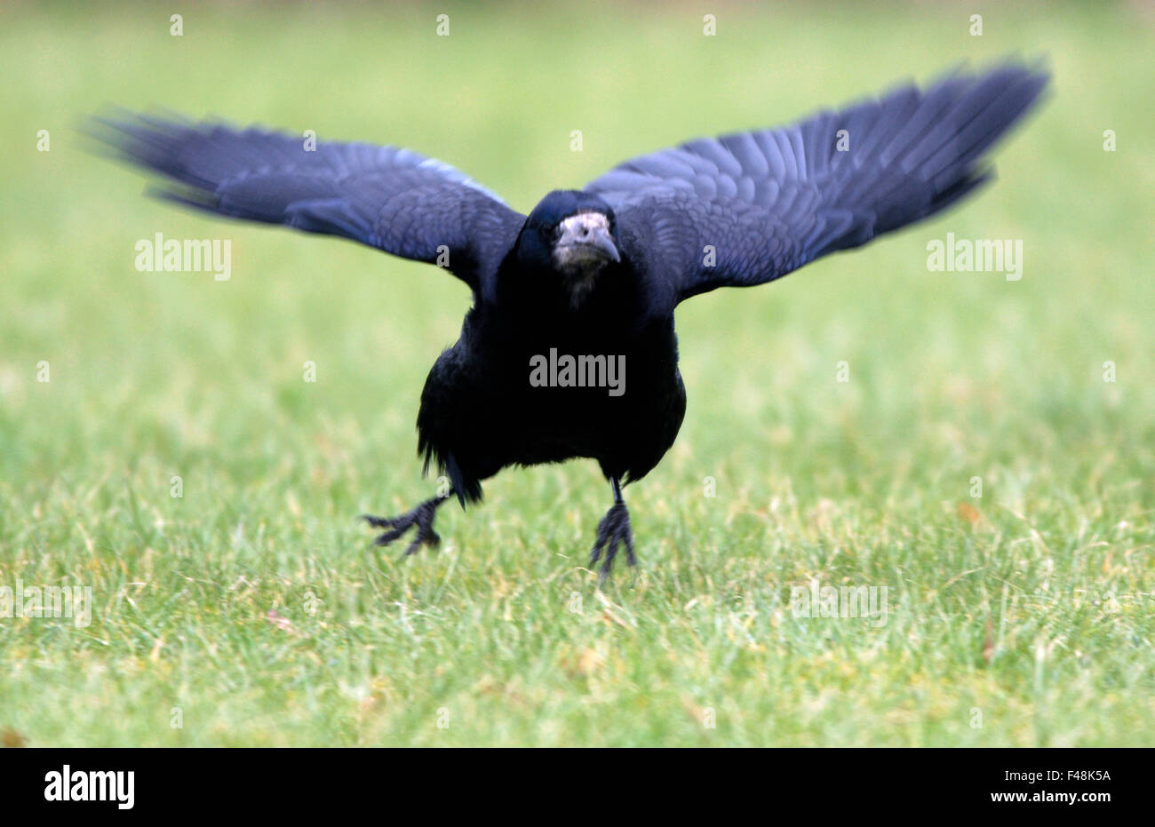 Black bird on the way to fly away - Stock Image