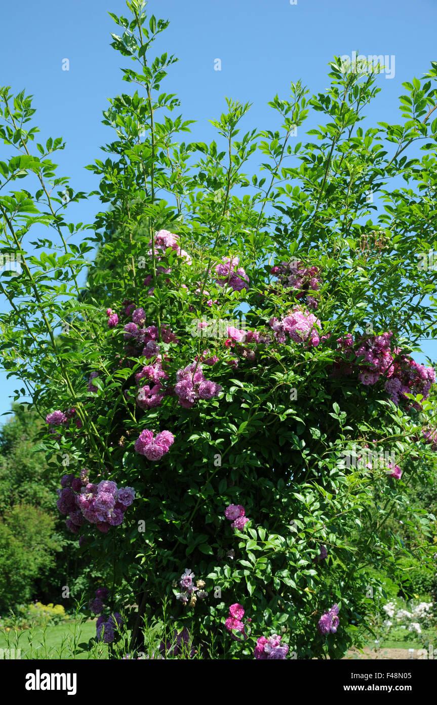 Rambler rose - Stock Image