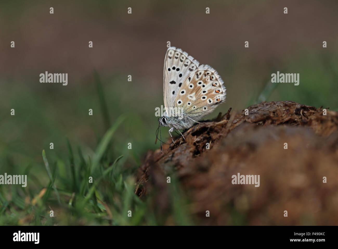 Chalk-hill Blue (Polyommatus coridon) - Stock Image