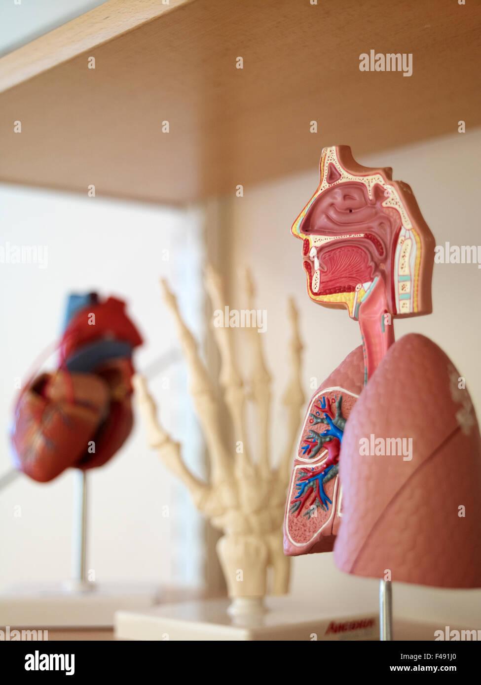 Models of different organs, Sweden. - Stock Image