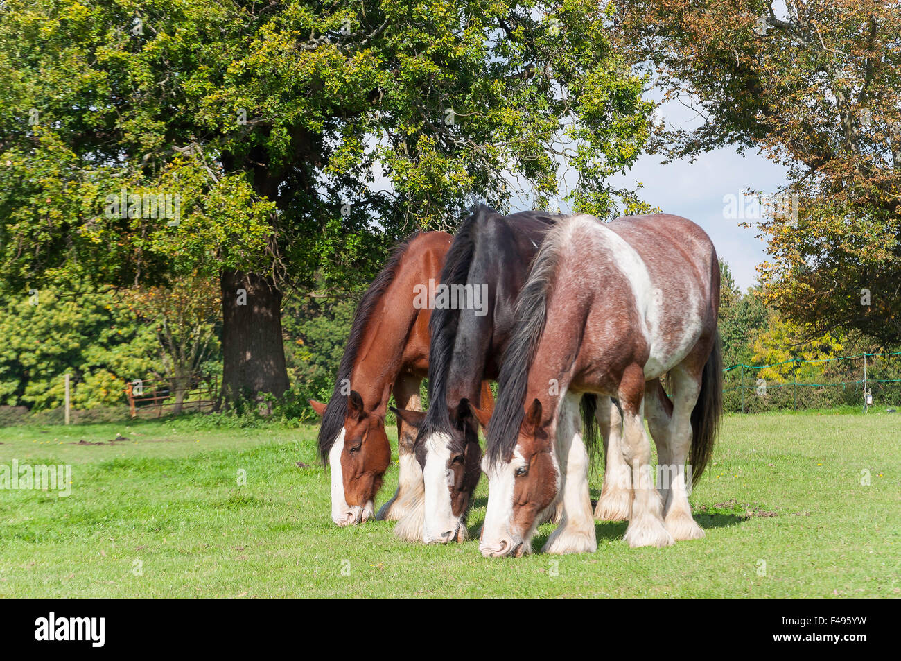 Draught horses at Chiltern Open Air Museum, Newland Park, Chalfont St Giles, Buckinghamshire, England, United Kingdom - Stock Image