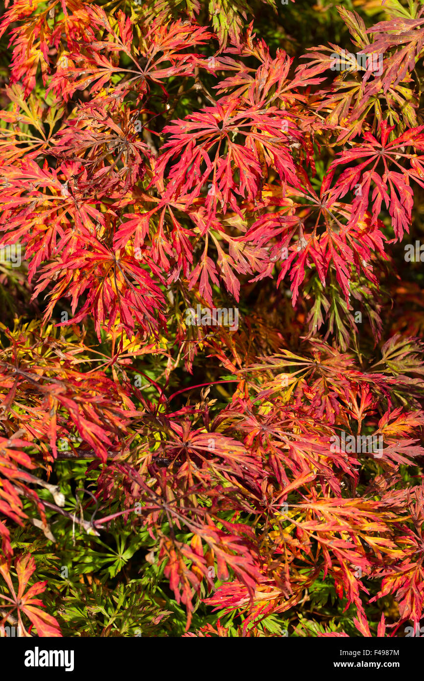 Autumn Colour In The Foliage Of The Japanese Maple Acer Japonicum