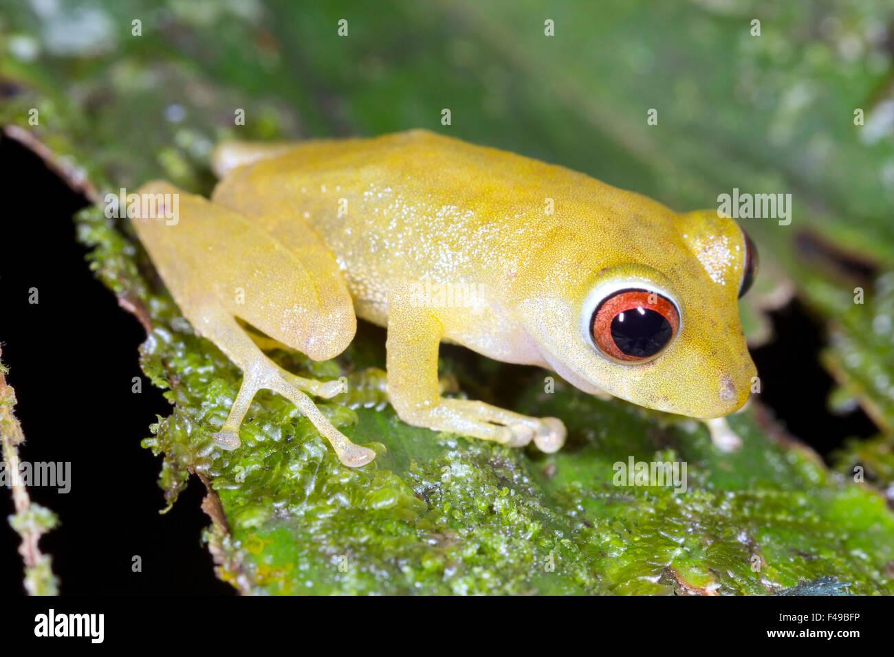 Rio Coca Robber Frog Pristimantis quaquaversus - Stock Image