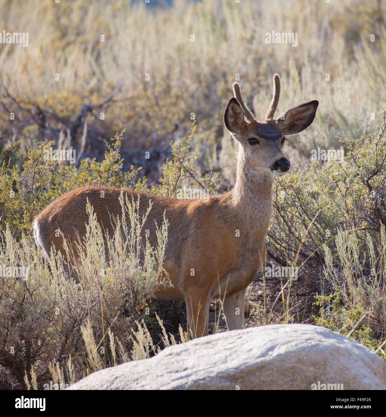 Young Buck Mule Deer (Odocoileus hemionus) in the high desert - Stock Image