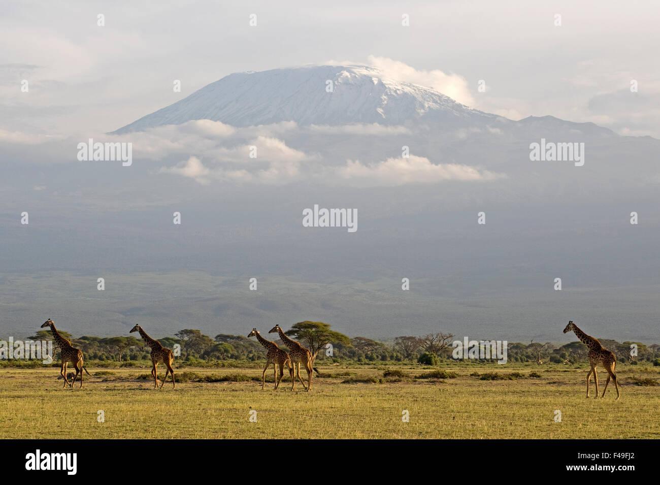 Rothschild's giraffe group with Mount Kilimanjaro in the background. Amboseli National Park, Kenya, Africa - Stock Image